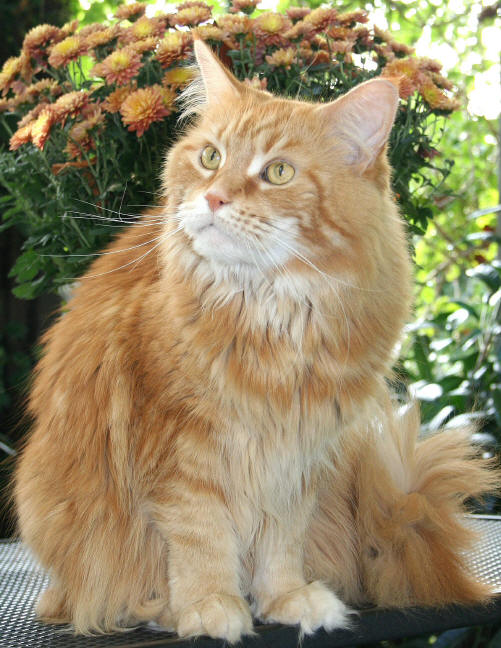 Amanda of Wildcatstar, Maine Coon red-classic-tabby