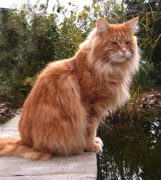 Minikins Angelos, Maine Coon, red-classic-tabby