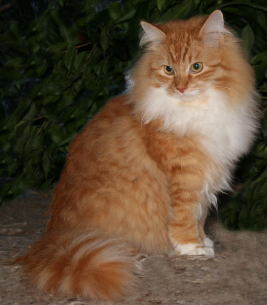 Long Haired Orange And White Cats