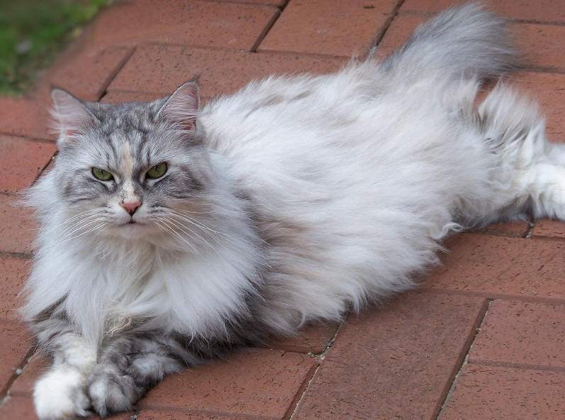 Issy the Fabulous, Maine Coon