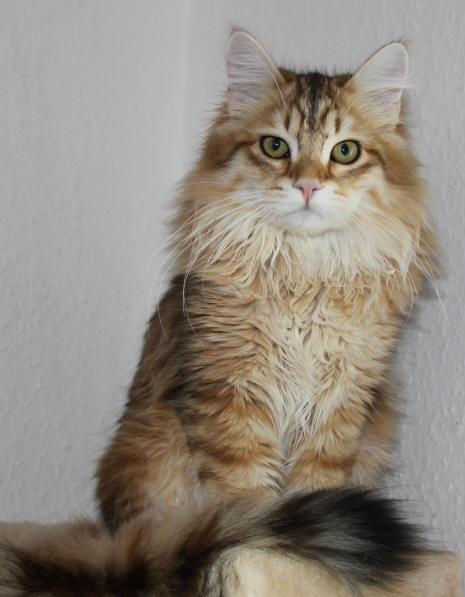 Glolden Tabby Farberklärung Maine Coon Katzecat Kat Poes Katt