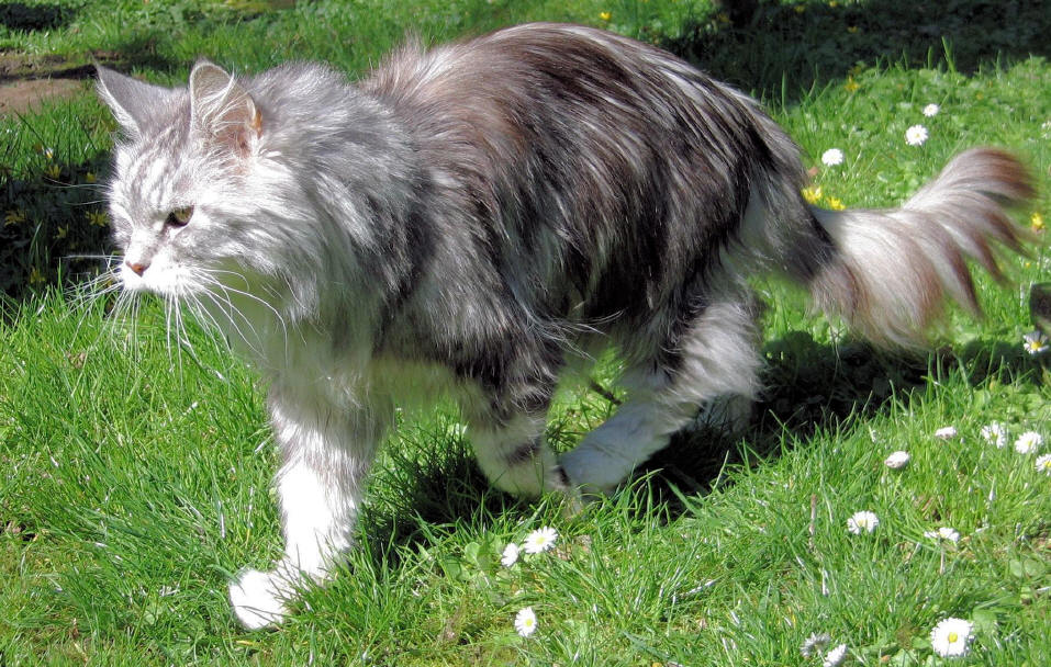 Maine Coon Kater, black-silver-classic-tabby/white