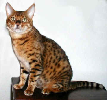 Bengal Katze, black-spotted