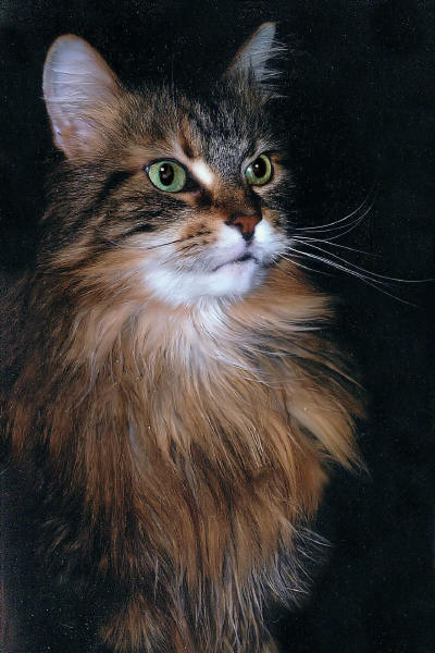 Maine Coon Tapsy the Fabuous