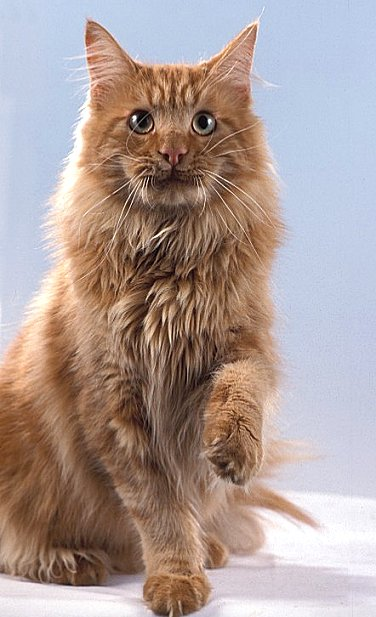 Teddy the Fabulous, Maine Coon, red-tabby-classic