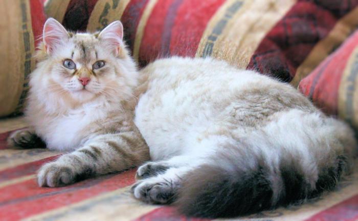 Glolden Classic Tabby Point Farberklärung Neva Masquarade Katzecat