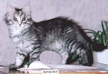 Yankeecats Amy Sue, Maine Coon