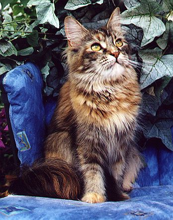 Alice of Wildcatstar, Maine Coon black-classic-torbie