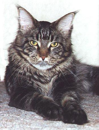 Asterix of Wildcatstar, Maine Coon