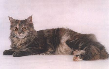 bonny of stonevallay, Maine Coon