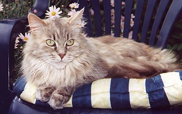 Maine Coon silver-classic-torbie