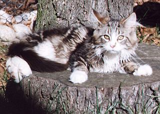 Maine Coon of Greystone
