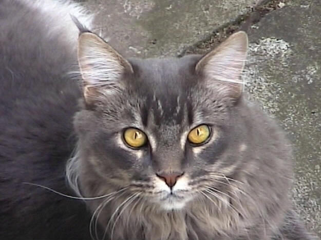 Big of Wildcatstar, Maine Coon blue-classic-tabby