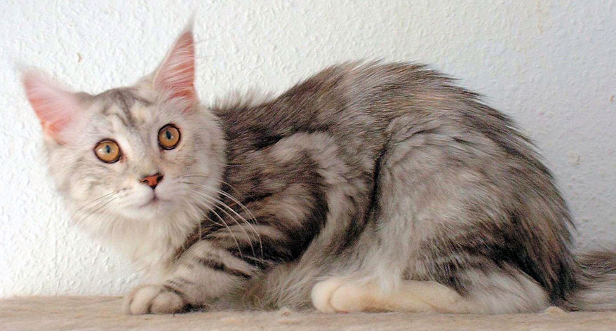Fina of Wildcatstar, Maine Coon blue-classic-tabby